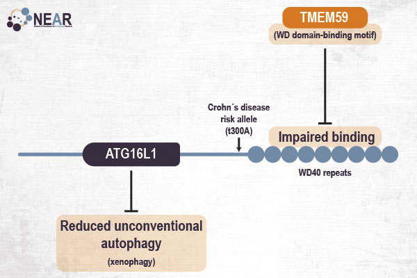 The T300A Crohn's disease risk polymorphism impairs function of the WD40 domain of ATG16L1